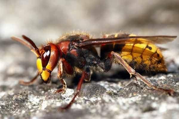 Sršeň mandarínská - tvor, který objevil Sršní nektar